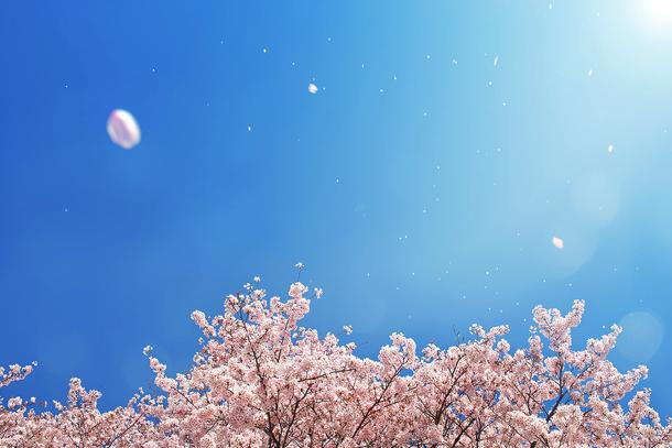 cherry-blossom_00003