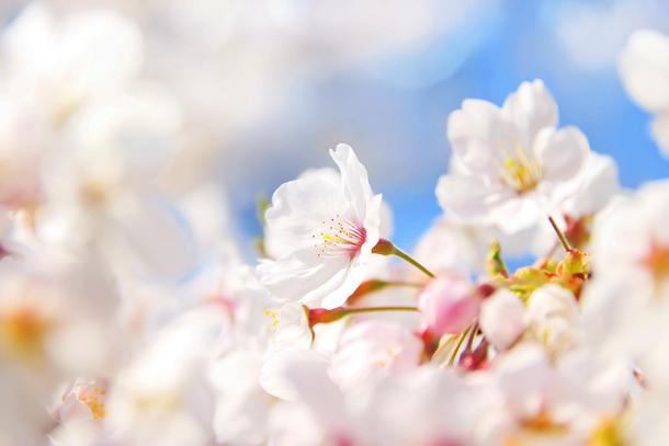 cherry-blossom_00004
