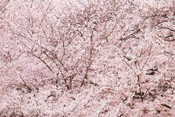 cherry-blossom_00149