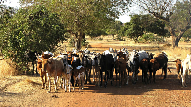2015-02-Life-of-Pix-free-stock-photos-burkina-faso-cows-herd-Marie-de-Smedt copy